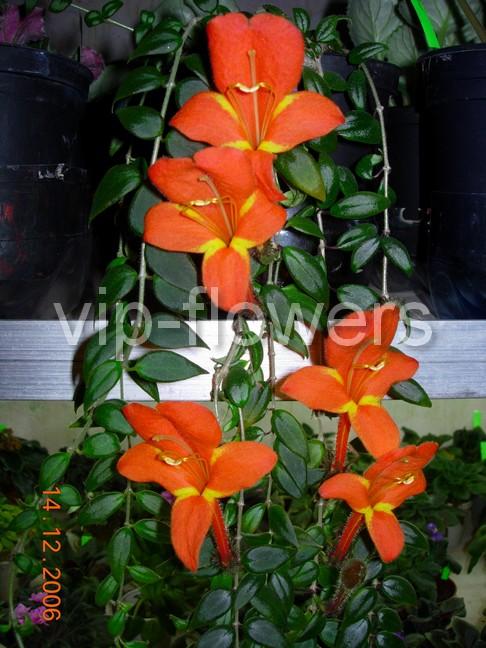 Трубчатые цветы красного цвета